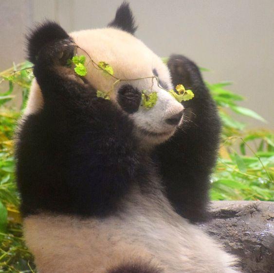 The most beautiful panda