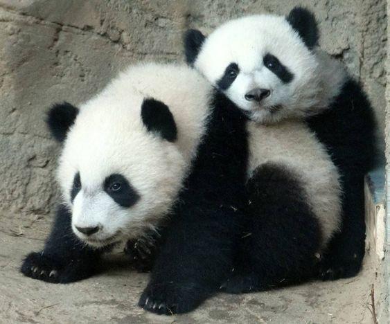 Adorable Panda Hug